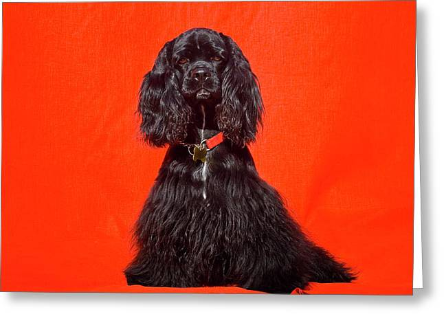 Cocker Spaniel Sitting Against Red Greeting Card by Zandria Muench Beraldo