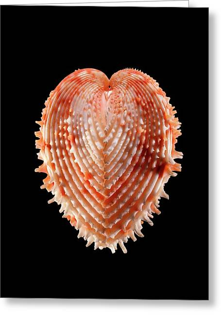 Cockle Shell Greeting Card by Gilles Mermet