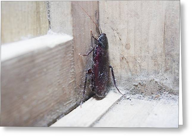 Creepy Crawly Greeting Cards - Cockroach insect Greeting Card by Science Photo Library