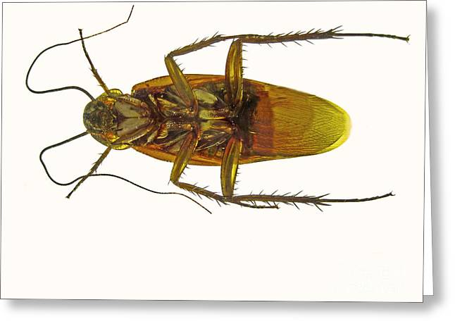 Cockroach Greeting Cards - Cockroach, Ventral View Greeting Card by Garry DeLong