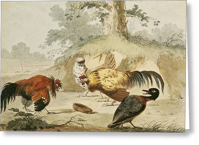 Chicken Greeting Cards - Cocks Fighting Greeting Card by Melchior de Hondecoeter