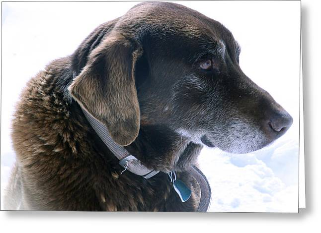 Chocolate Lab Greeting Cards - Cocoa In Heaven Greeting Card by Betty Morgan
