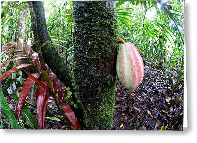 Fish Eye Lens Greeting Cards - Cocoa Tree In A Rainforest, Costa Rica Greeting Card by Panoramic Images