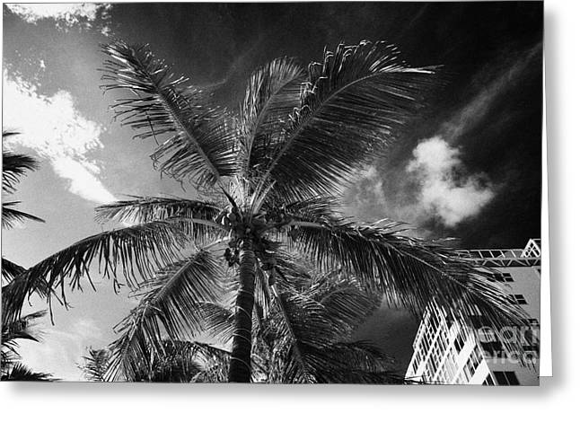 Nut Trees Greeting Cards - Coconut Palm Tree Next To Hotel Buildings Fort Lauderdale Beach Florida Usa Greeting Card by Joe Fox