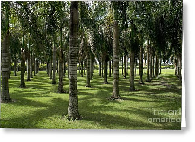 Higuey Greeting Cards - Coconuts trees in a row Greeting Card by Sami Sarkis