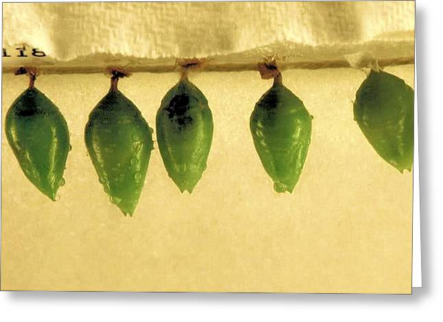 Cocoon Greeting Cards - Cocoon Greeting Card by James Stough