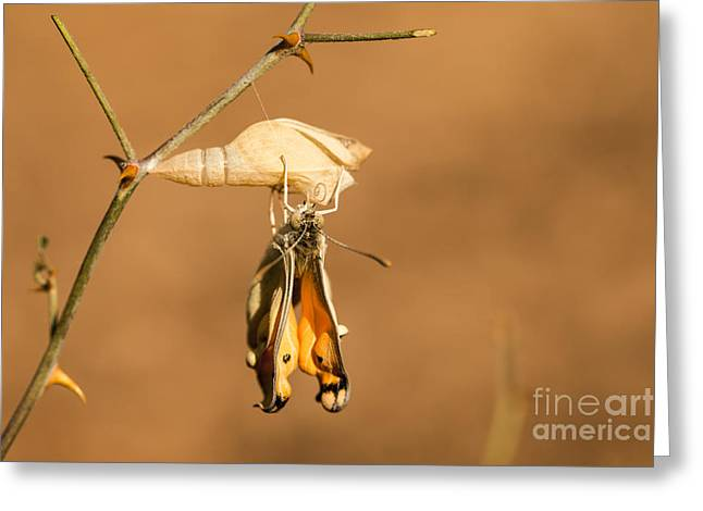 Emerge Greeting Cards - Cocoon Large Salmon Arab Colotis fausta  Greeting Card by Alon Meir