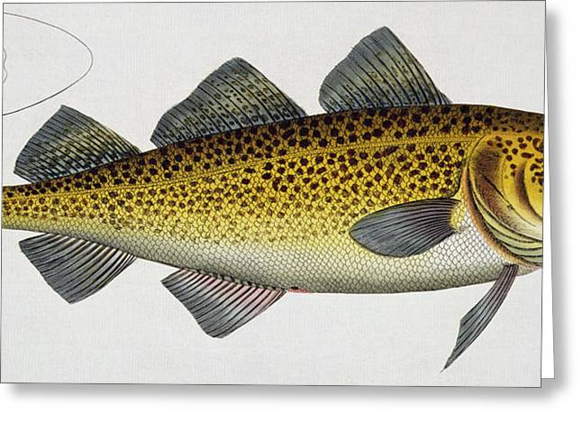 Angling Drawings Greeting Cards - Cod Greeting Card by Andreas Ludwig Kruger