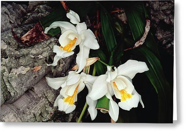 Coelogyne Cristata Epiphytic Orchid Greeting Card by Michael R Chandler
