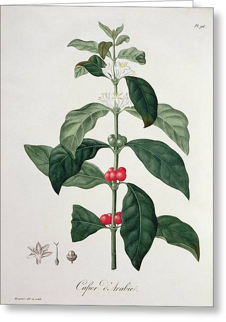 Berry Drawings Greeting Cards - Coffea Arabica From Phytographie Greeting Card by L.F.J. Hoquart
