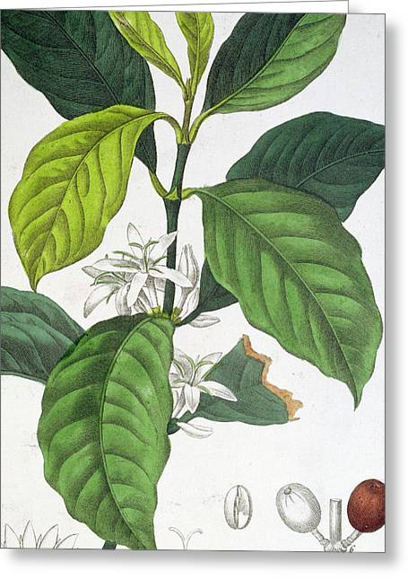 Coffea Arabica Greeting Card by Pancrace Bessa