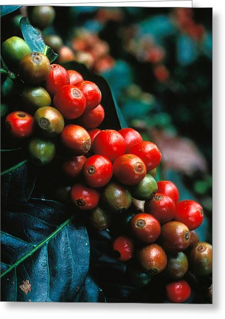 Part Of Greeting Cards - Coffee Plant Greeting Card by Anonymous