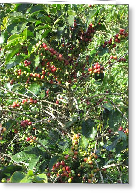 Green Beans Mixed Media Greeting Cards - Coffee Plantations in Costa Rica South America Fruit Season with ready hands to teach travellers all Greeting Card by Navin Joshi