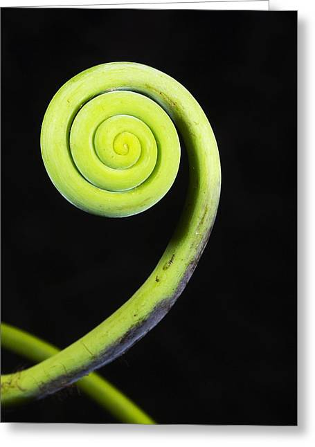 Hispaniola Greeting Cards - Coiled Vine Dominican Republic Greeting Card by Kevin Schafer