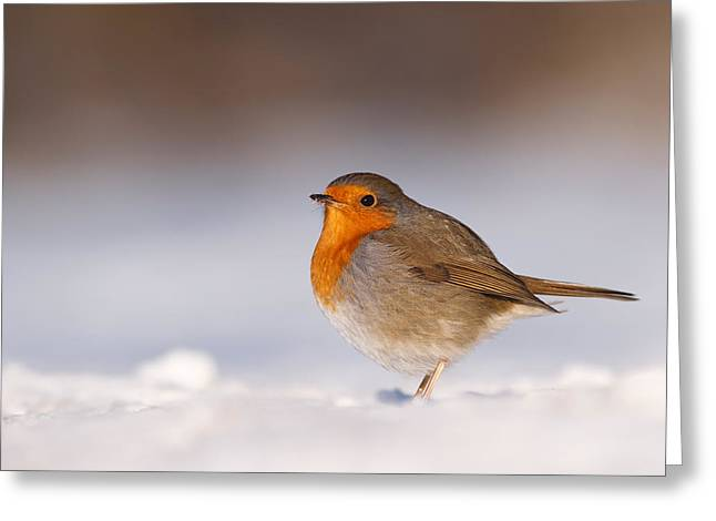 Passerine Greeting Cards - Cold Fee Warm Light Robin in the Snow Greeting Card by Roeselien Raimond