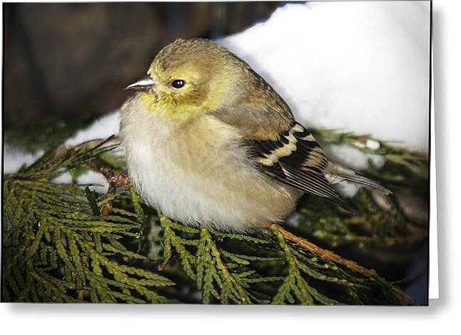Finch Greeting Cards - Cold Golden Finch Greeting Card by LeeAnn McLaneGoetz McLaneGoetzStudioLLCcom
