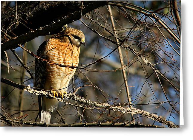 Hunting Bird Greeting Cards - Cold Morning Hunt Greeting Card by Reid Callaway