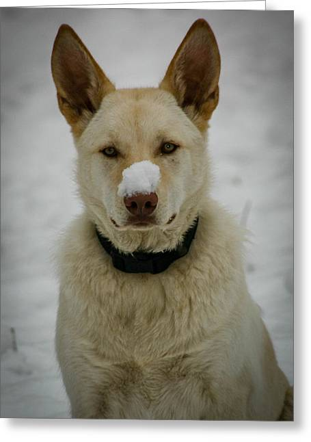 Cold Nose Greeting Card by Paul Freidlund
