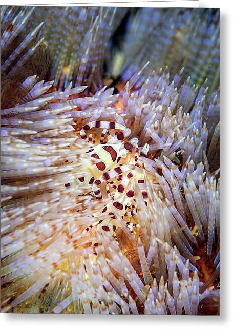 Coleman's Shrimp On A Sea Urchin Greeting Card by Ethan Daniels