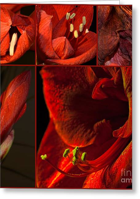 Bouquet Amaryllis Greeting Cards - Collage - Amaryllis - Red 01- Elena Yakubovich Greeting Card by Elena Yakubovich