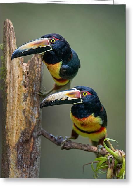 Collar Greeting Cards - Collared Aracari Pteroglossus Torquatus Greeting Card by Panoramic Images