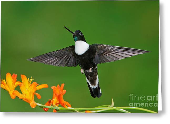 Collar Greeting Cards - Collared Inca Greeting Card by Anthony Mercieca