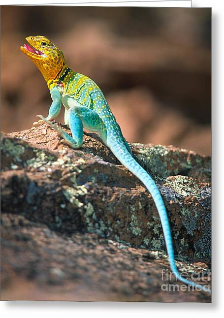 Wildlife Refuge Greeting Cards - Collared Lizard Greeting Card by Inge Johnsson