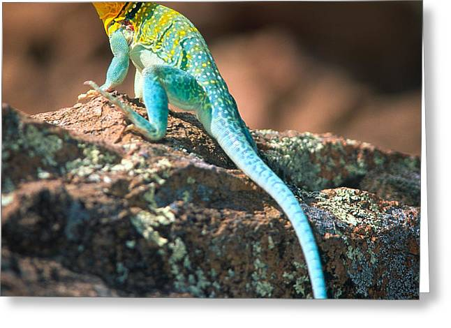 Collared Lizard Greeting Card by Inge Johnsson
