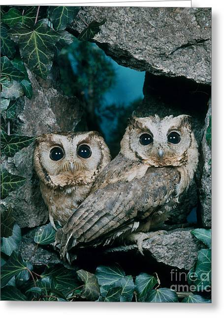 Bird On Tree Greeting Cards - Collared Scops Owl Greeting Card by Hans Reinhard