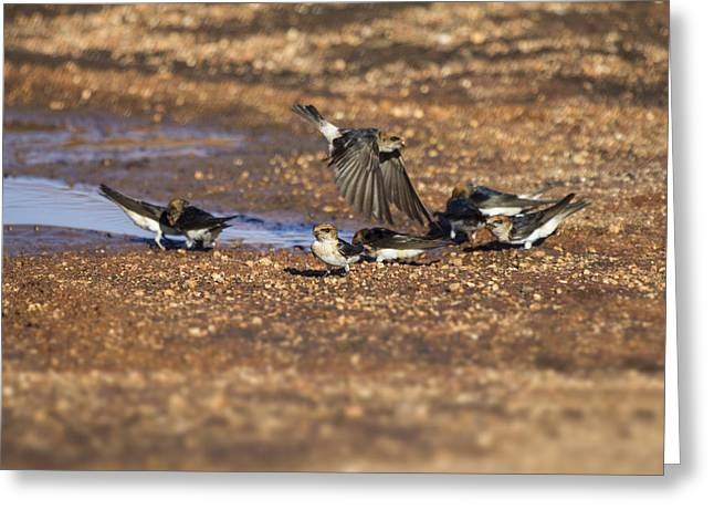 Mud Nest Greeting Cards - Collecting Mud Greeting Card by Douglas Barnard