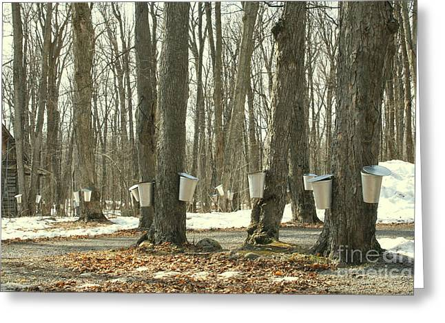 Dripping Tap Greeting Cards - Collecting sap for maple syrup Greeting Card by Nadine Mot Mitchell