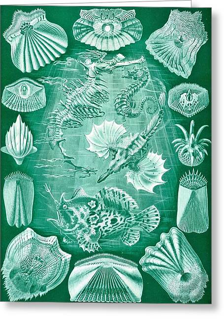 Vertical Drawings Greeting Cards - Collection Of Teleostei Greeting Card by Ernst Haeckel