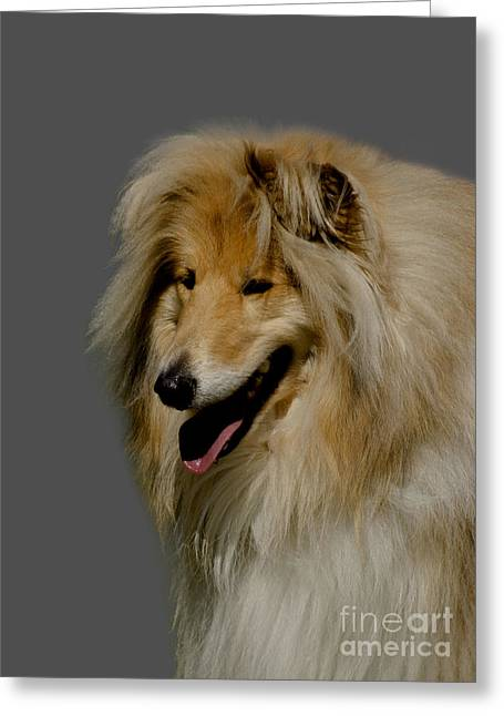 Doggy Cards Greeting Cards - Collie dog Greeting Card by Linsey Williams