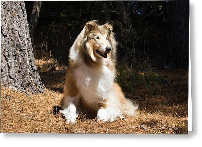 Collie Sitting In The Sun Under A Pine Greeting Card by Zandria Muench Beraldo