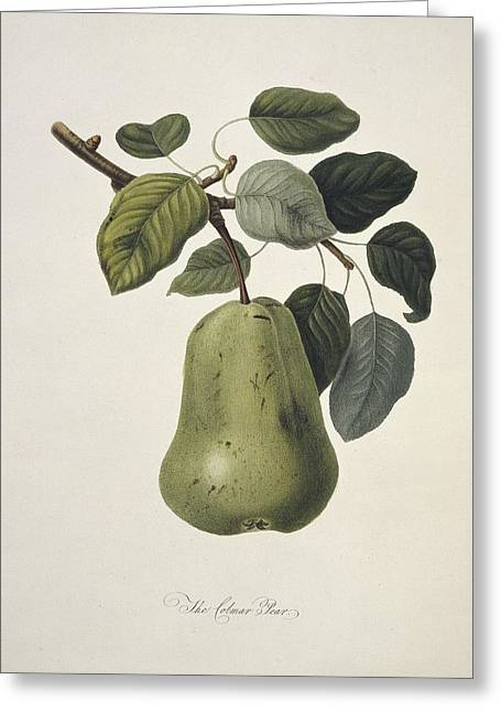 One Pear Greeting Cards - Colmart Pear (1818) Greeting Card by Science Photo Library