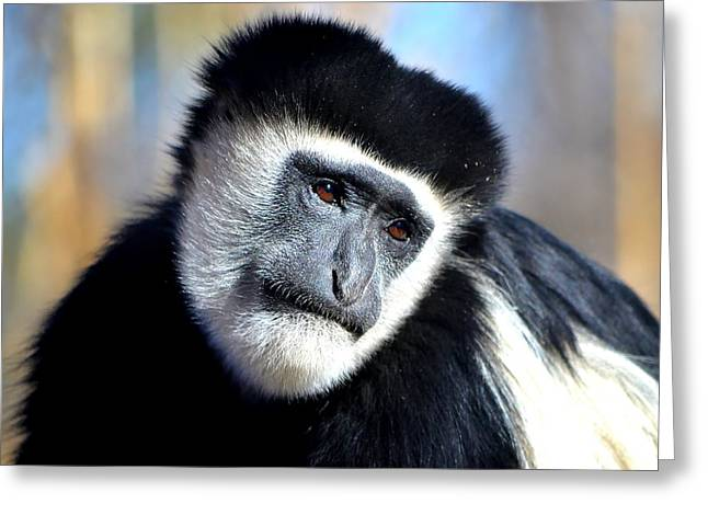 Gray Hair Greeting Cards - Colobus Contemplation Greeting Card by Deena Stoddard