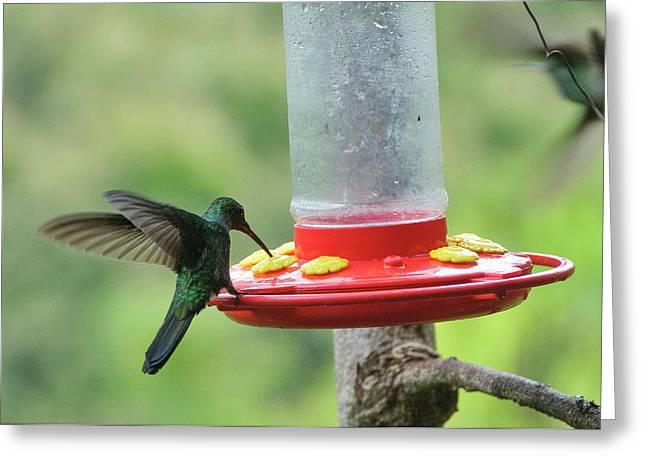 Colombia, Minca Hummingbird (white Greeting Card by Matt Freedman