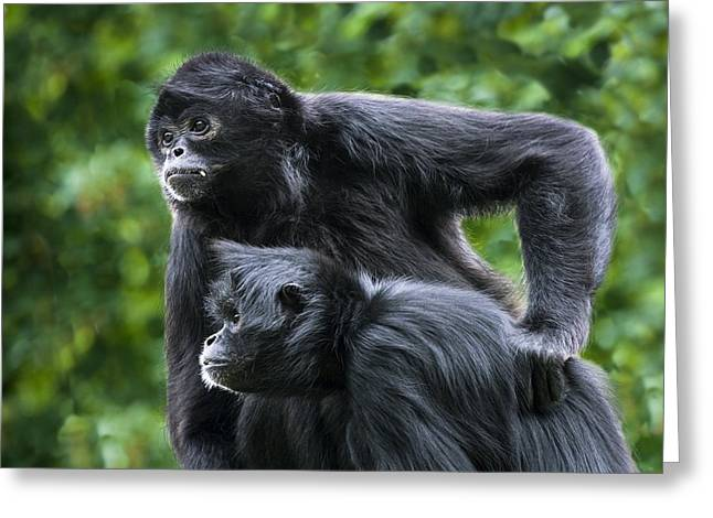 Pairs Greeting Cards - Colombian Black-faced Spider Monkeys Greeting Card by Cheryl Power