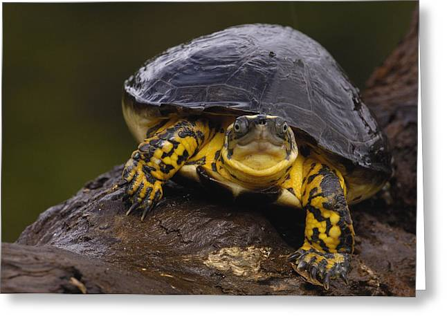 Wood Turtle Greeting Cards - Colombian Wood Turtle Amazon Ecuador Greeting Card by Pete Oxford