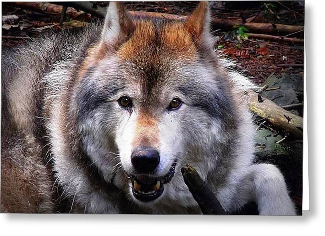 Narure Greeting Cards - Colonol Wolf Greeting Card by Tammy Ras