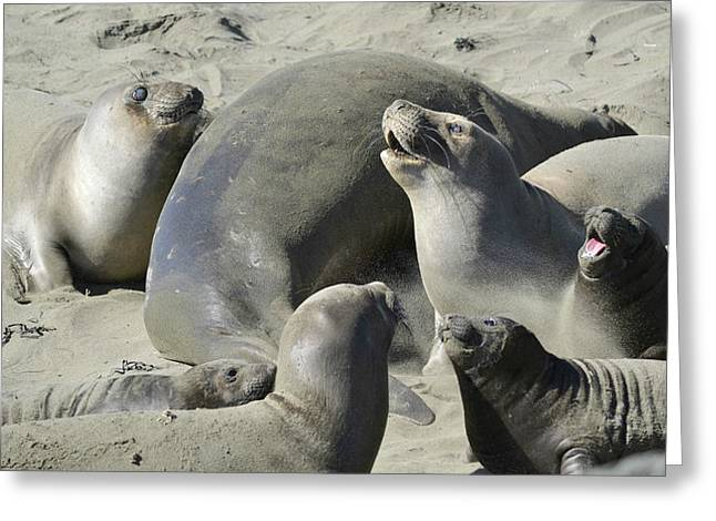 Elephant Seals Photographs Greeting Cards - Colony Greeting Card by Fraida Gutovich