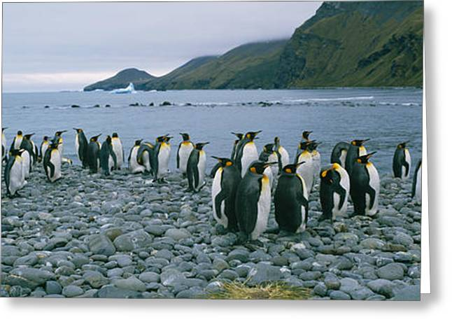 Aptenodytes Greeting Cards - Colony Of King Penguins On The Beach Greeting Card by Panoramic Images