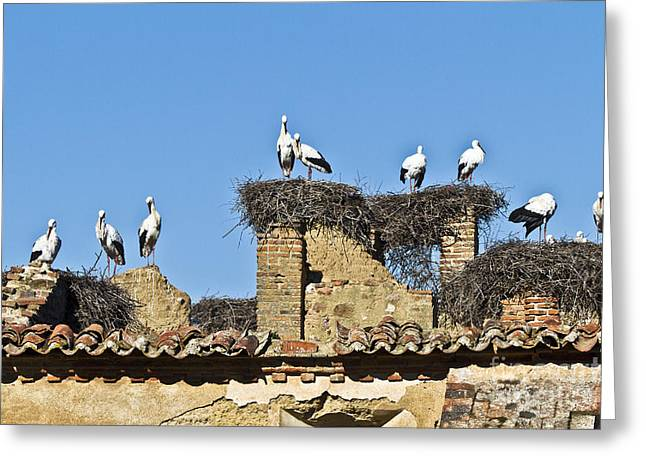 Zoologic Greeting Cards - Colony of Storks Nesting Greeting Card by Heiko Koehrer-Wagner