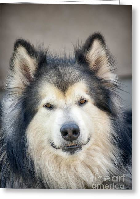 Dogs In Snow. Greeting Cards - Color portrait of Alaskan Malamute Greeting Card by Lorraine Logan