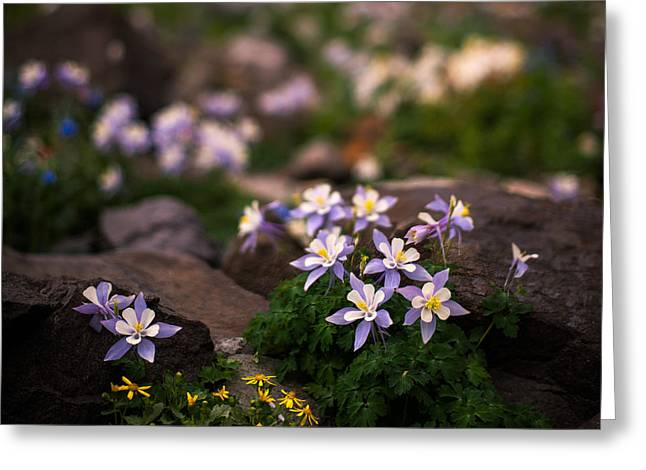 Copyright 2013 By Mike Berenson Greeting Cards - Colorado Columbine Glamour Shot Greeting Card by Mike Berenson
