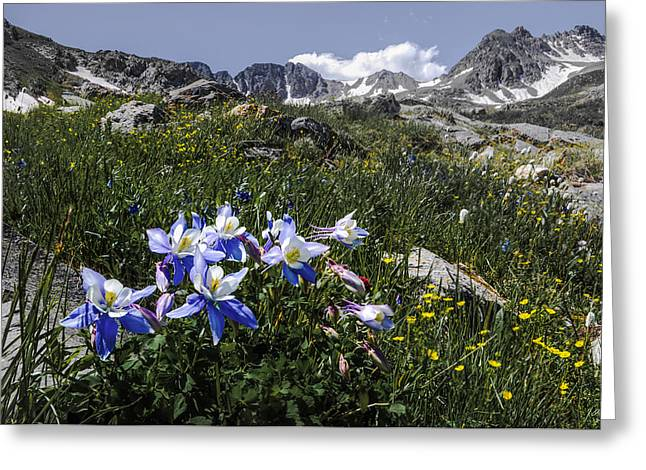 Spectacular Greeting Cards - Colorado Columbines Greeting Card by Aaron Spong