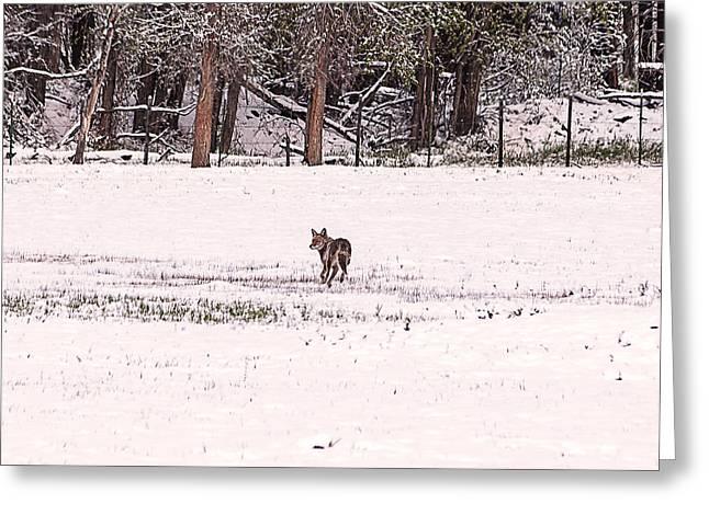 Colorado Coyote Play Greeting Card by Janice Rae Pariza