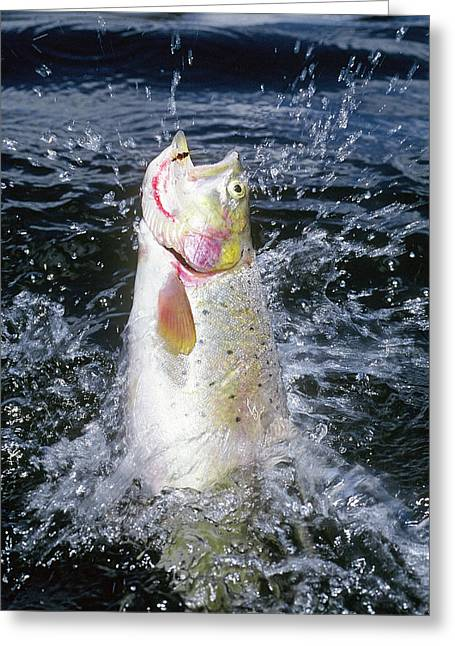 Rainbow Trout Greeting Cards - Colorado Cutthroat Greeting Card by Buddy Mays