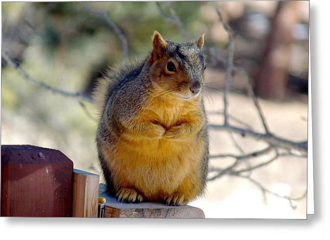 Eastern Fox Squirrel Greeting Cards - Colorado Fox Squirrel Greeting Card by Marilyn Burton
