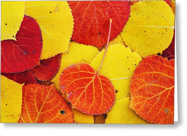 Aspens In Autumn Leaves Greeting Cards - Colorful Aspens Greeting Card by Vishwanath Bhat